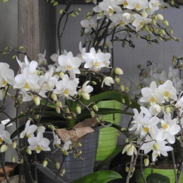 Phalaenopsis ou l'orchidée papillon